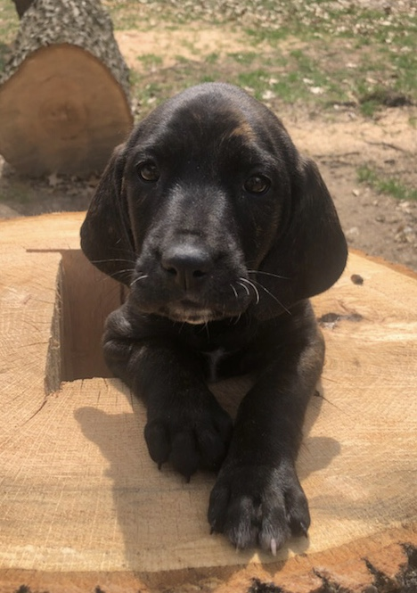 June 2019 | Lucas Peters | Stumped Puppy | The new pack member helping us cut out bear baiting stumps