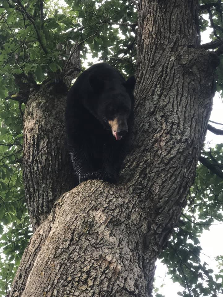 September 2019 | Trevor Cross | Bear in the air | Walked this one for a few hours before it treed