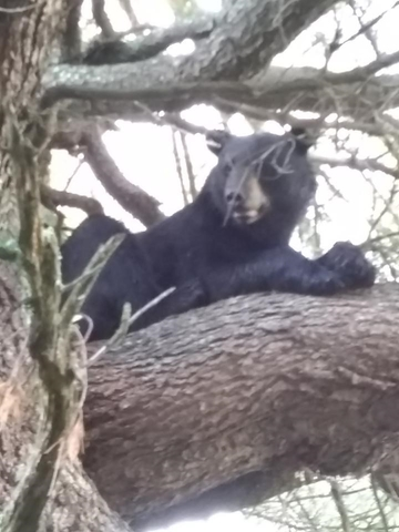 January 2020 | Rick Weis | Lazy day close up | Came up on this bear hanging out on the tree