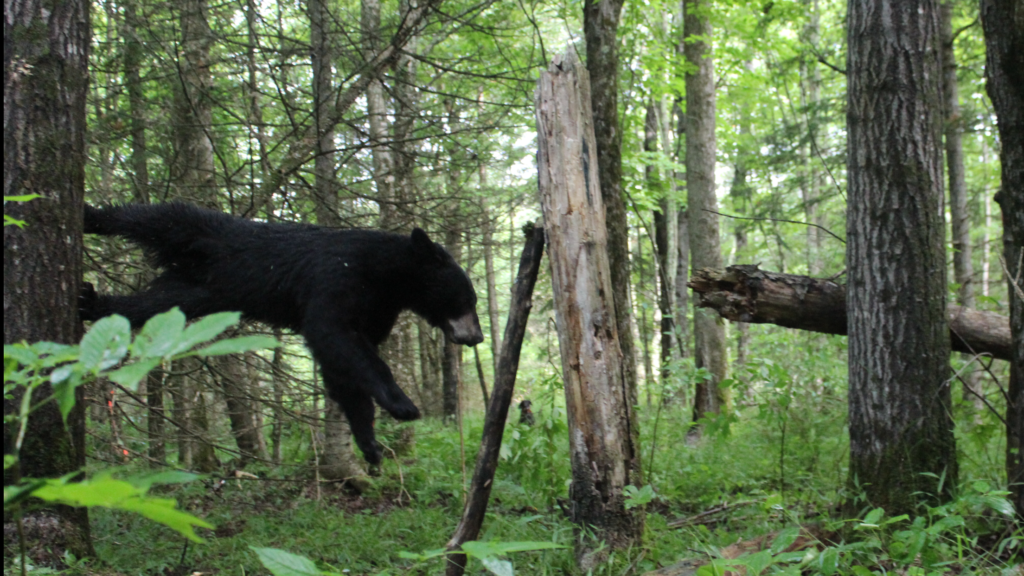 July 2017 | FFCS Bear Hunters | This was the first bear of the 2017 training season. I waited as the dogs were being led out for the bear to came down. He jumped of the tree about three yards from me. Great weekend of family, friends and running bear!!