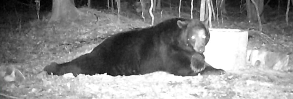 December 2020 | Troy Kuhn | My Belly is Full | This bear always knew where the camera was. He would come in and fill his belly, then roll around and guard the bait.